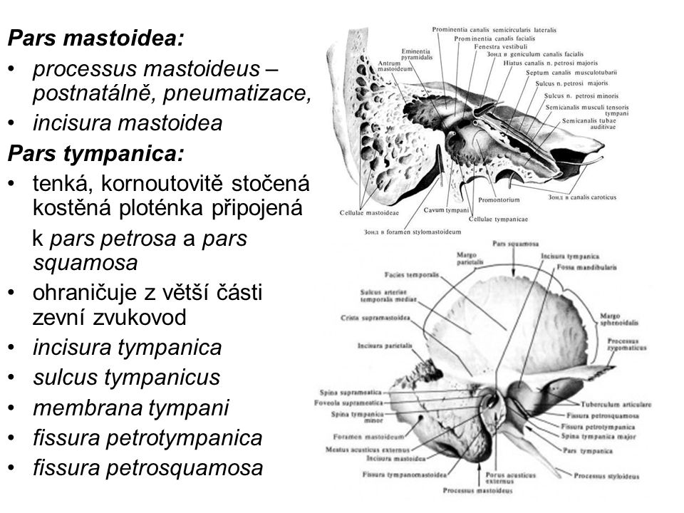 Pars mastoidea: processus mastoideus – postnatálně, pneumatizace, incisura mastoidea. Pars tympanica: