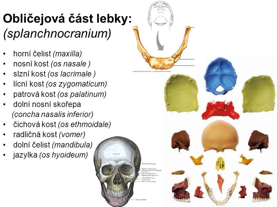 Obličejová část lebky: (splanchnocranium)