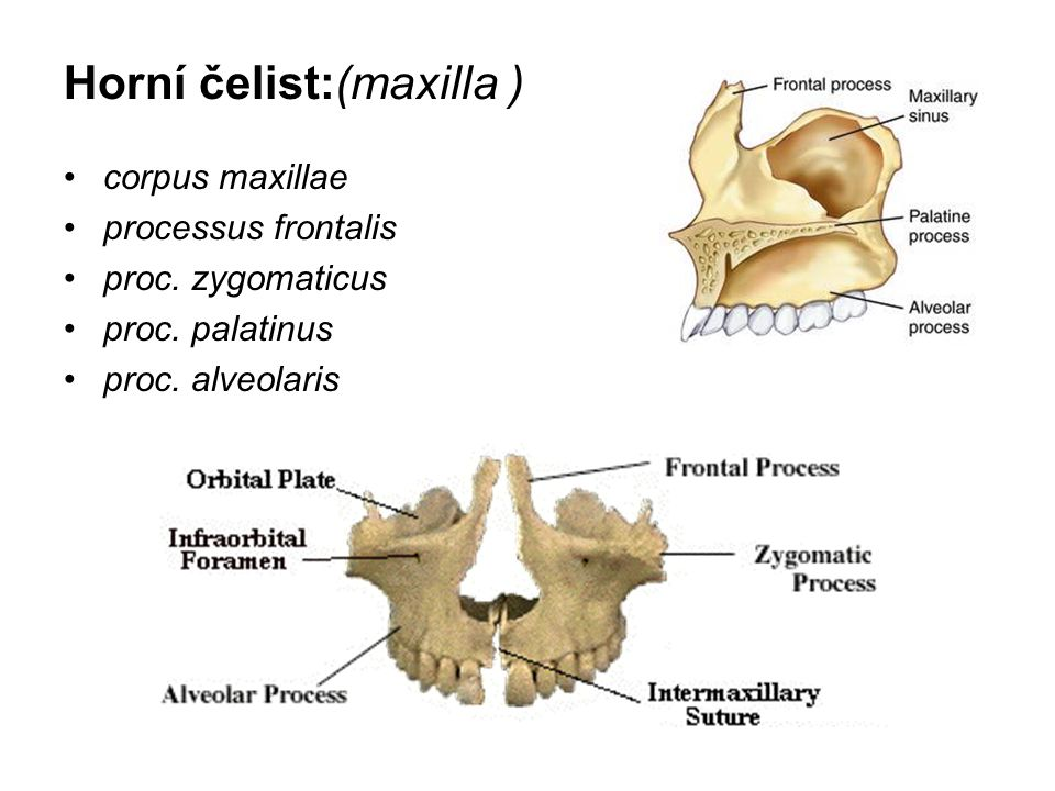 Horní čelist:(maxilla )