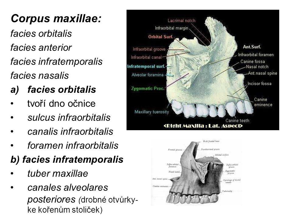 Corpus maxillae: facies orbitalis facies anterior