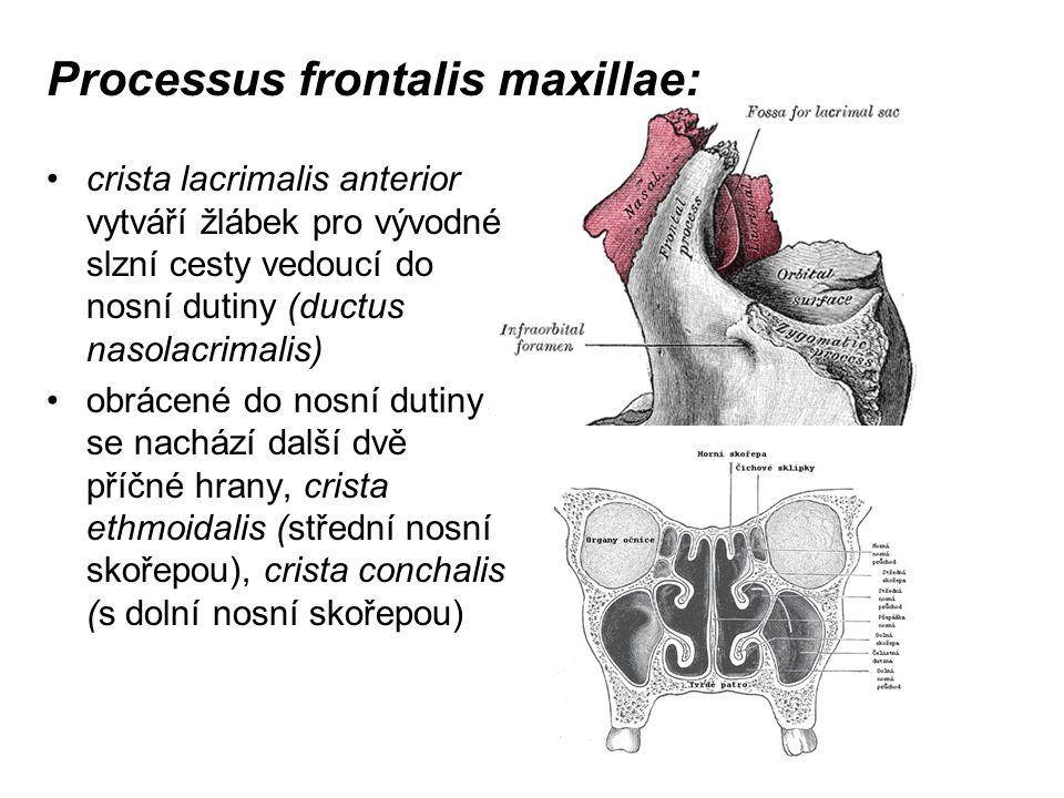 Processus frontalis maxillae: