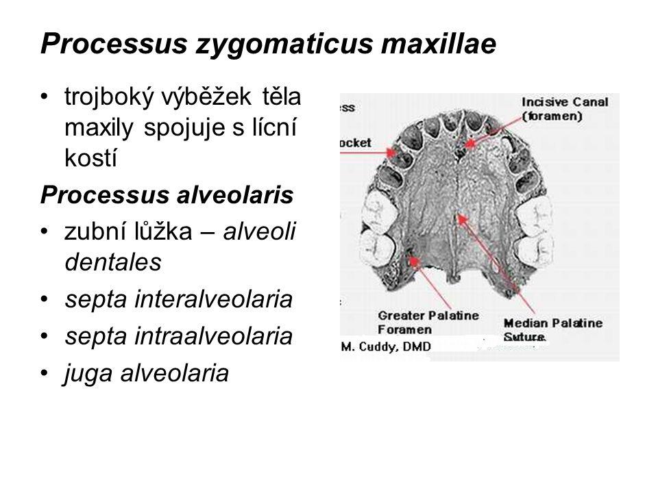 Processus zygomaticus maxillae