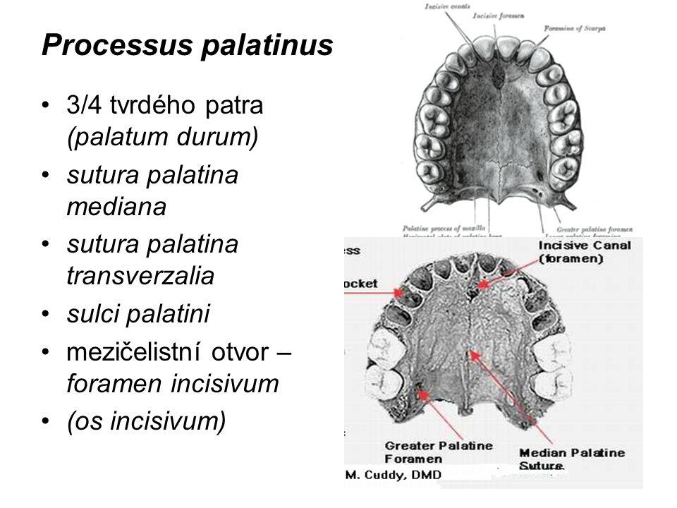 Processus palatinus 3/4 tvrdého patra (palatum durum)
