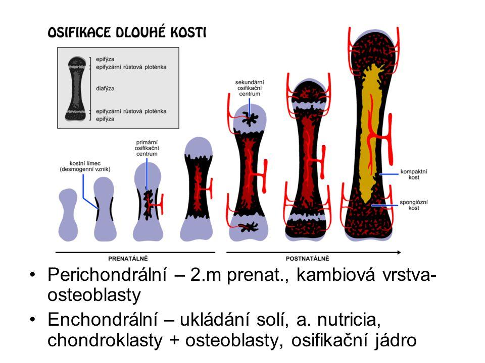 Perichondrální – 2.m prenat., kambiová vrstva-osteoblasty