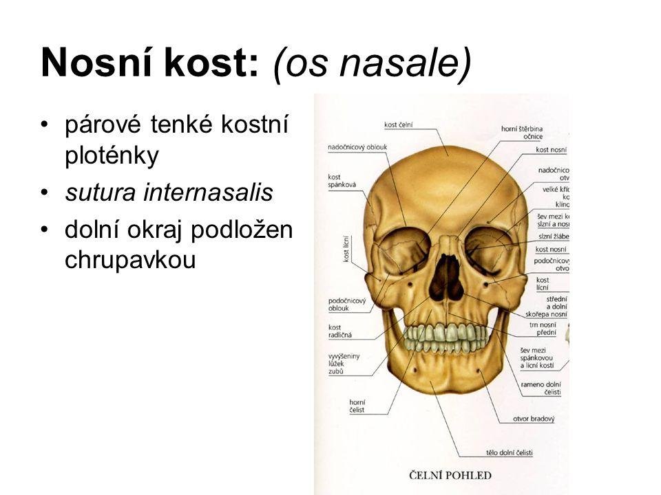 Nosní kost: (os nasale)