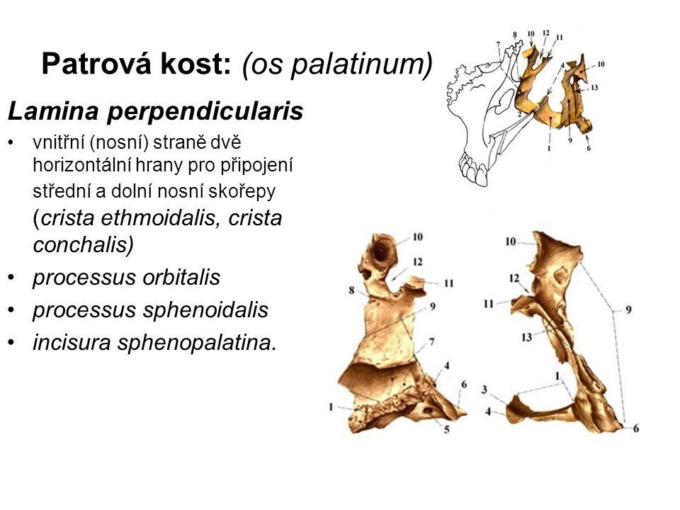 Patrová kost: (os palatinum)
