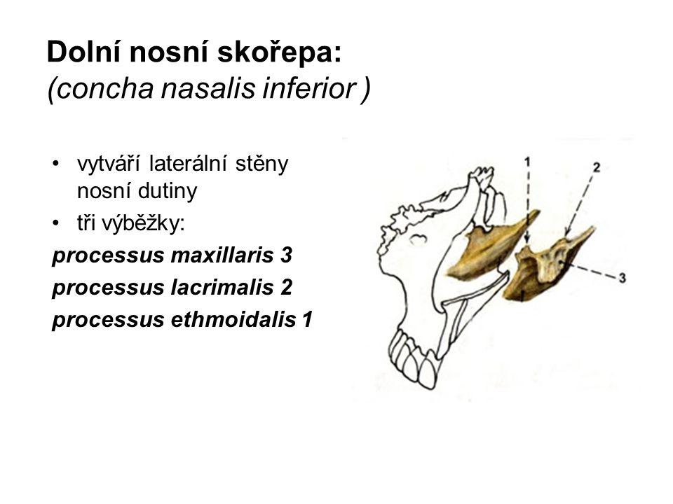 Dolní nosní skořepa: (concha nasalis inferior )