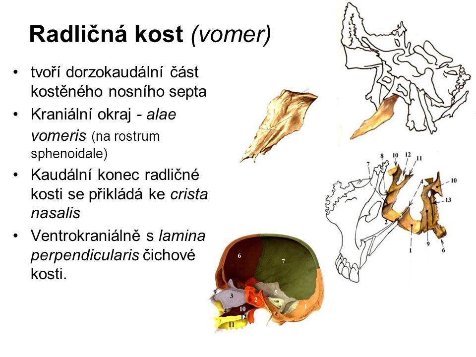 Radličná kost (vomer) tvoří dorzokaudální část kostěného nosního septa