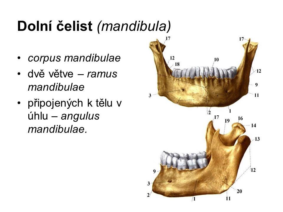 Dolní čelist (mandibula)
