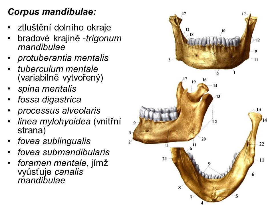 Corpus mandibulae: ztluštění dolního okraje. bradové krajině -trigonum mandibulae. protuberantia mentalis.