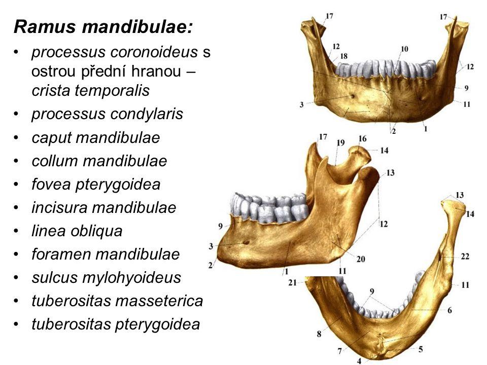 Ramus mandibulae: processus coronoideus s ostrou přední hranou – crista temporalis. processus condylaris.
