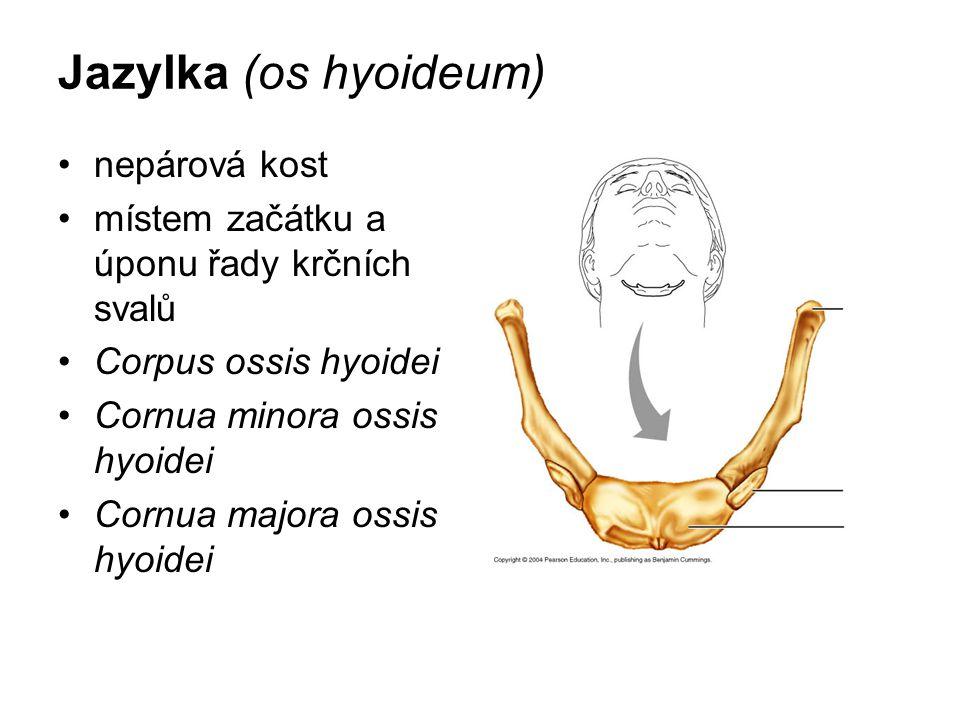 Jazylka (os hyoideum) nepárová kost