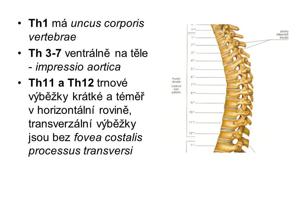 Th1 má uncus corporis vertebrae