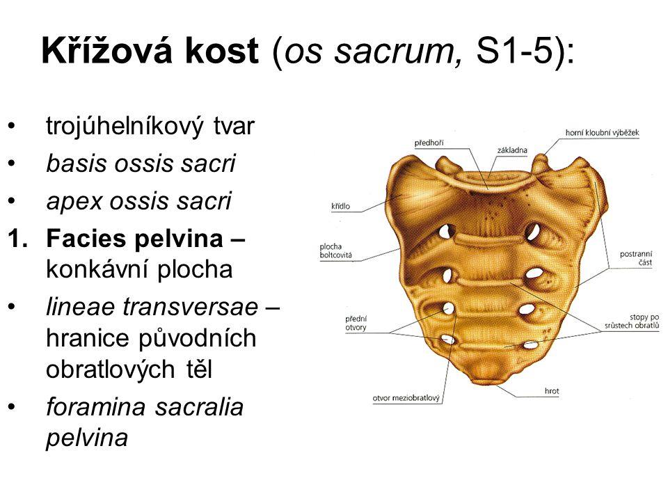 Křížová kost (os sacrum, S1-5):