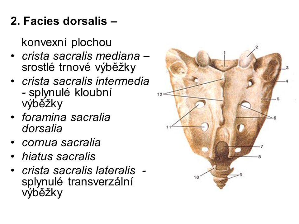 crista sacralis mediana – srostlé trnové výběžky