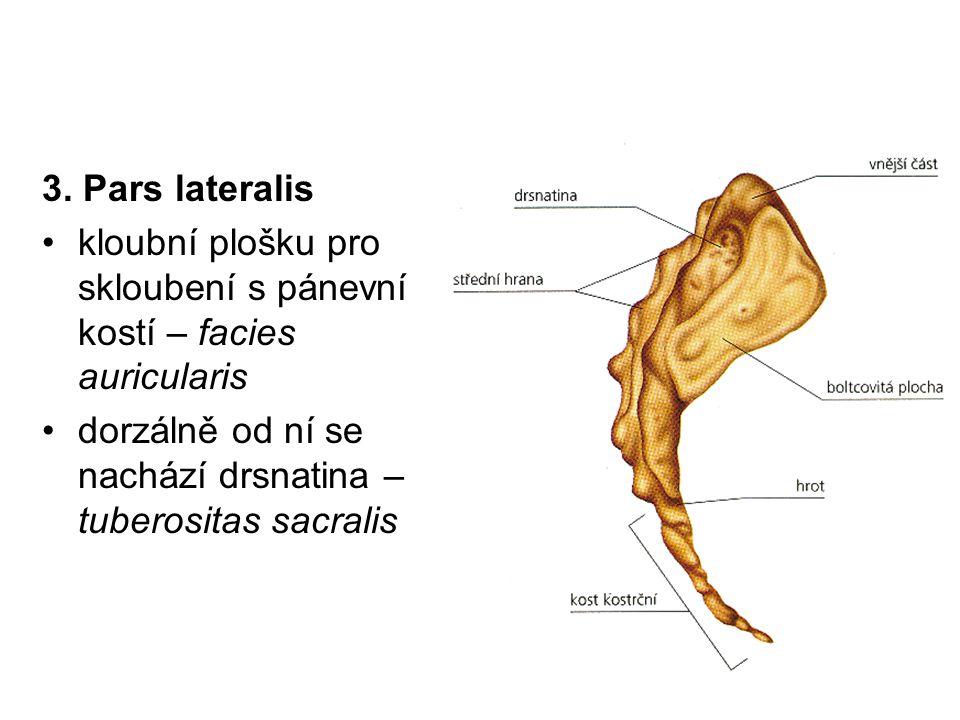 3. Pars lateralis kloubní plošku pro skloubení s pánevní kostí – facies auricularis.