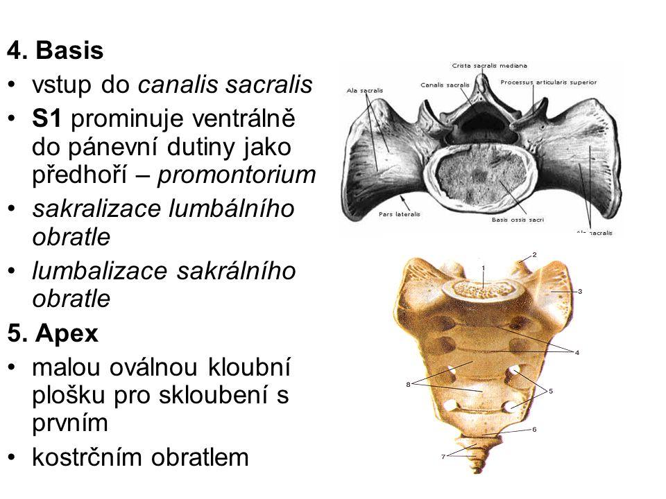 4. Basis vstup do canalis sacralis. S1 prominuje ventrálně do pánevní dutiny jako předhoří – promontorium.