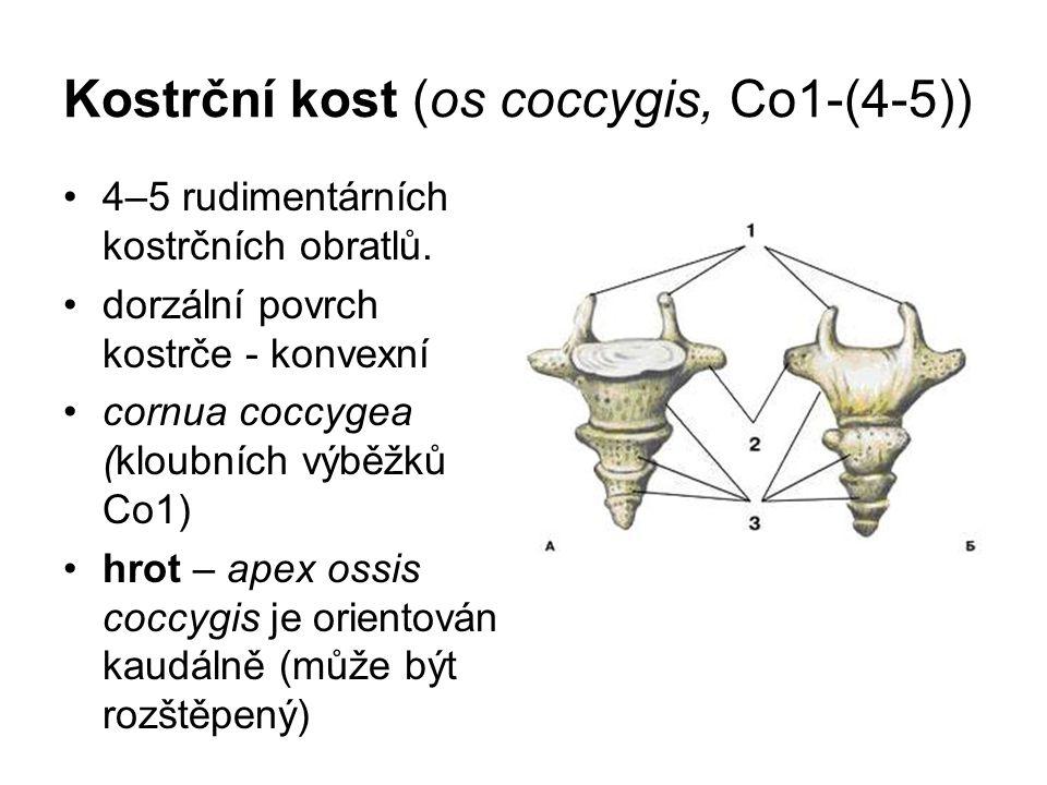 Kostrční kost (os coccygis, Co1-(4-5))