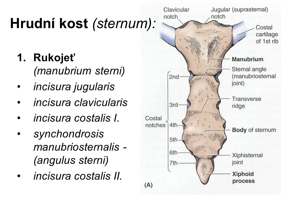 Groß Teile Sternum Fotos - Menschliche Anatomie Bilder ...