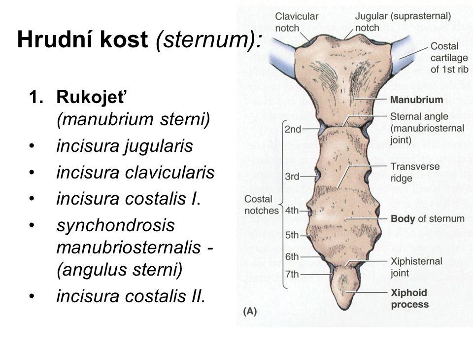 Hrudní kost (sternum):
