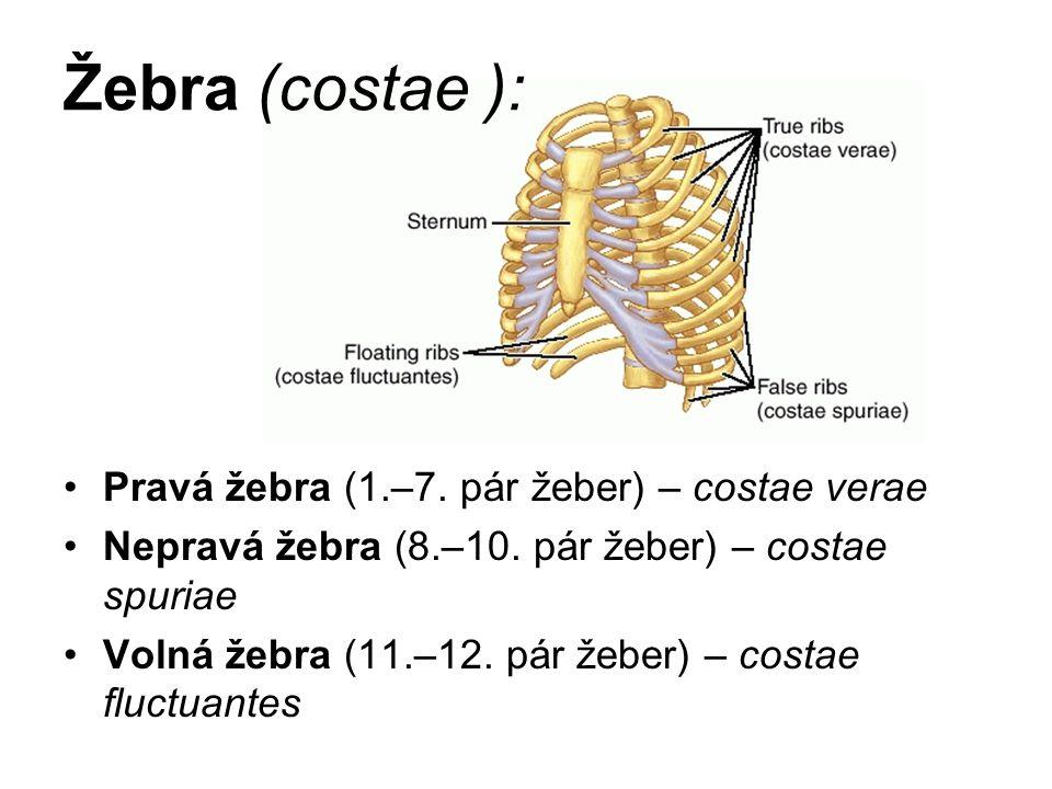 Žebra (costae ): Pravá žebra (1.–7. pár žeber) – costae verae