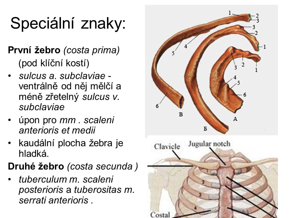Speciální znaky: První žebro (costa prima) (pod klíční kostí)