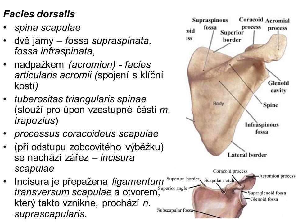Facies dorsalis spina scapulae. dvě jámy – fossa supraspinata, fossa infraspinata,