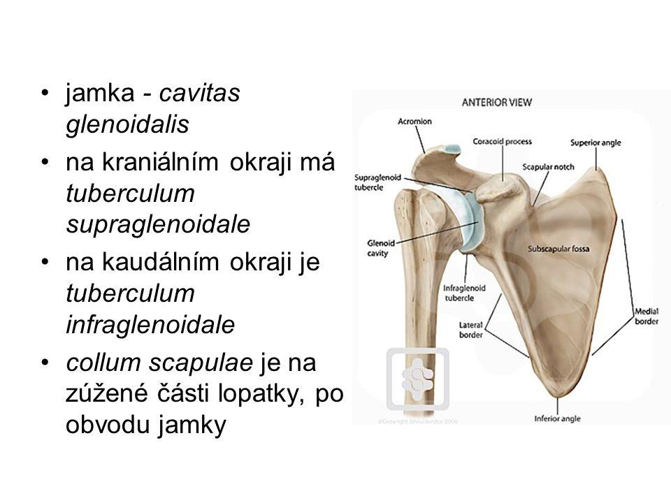 jamka - cavitas glenoidalis