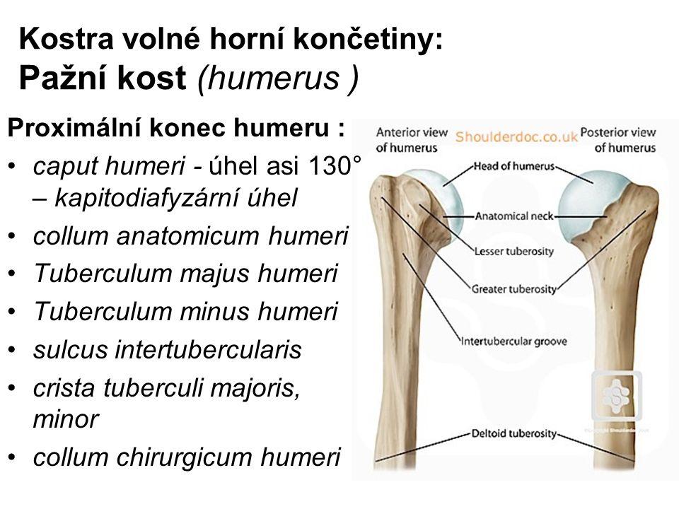 Kostra volné horní končetiny: Pažní kost (humerus )