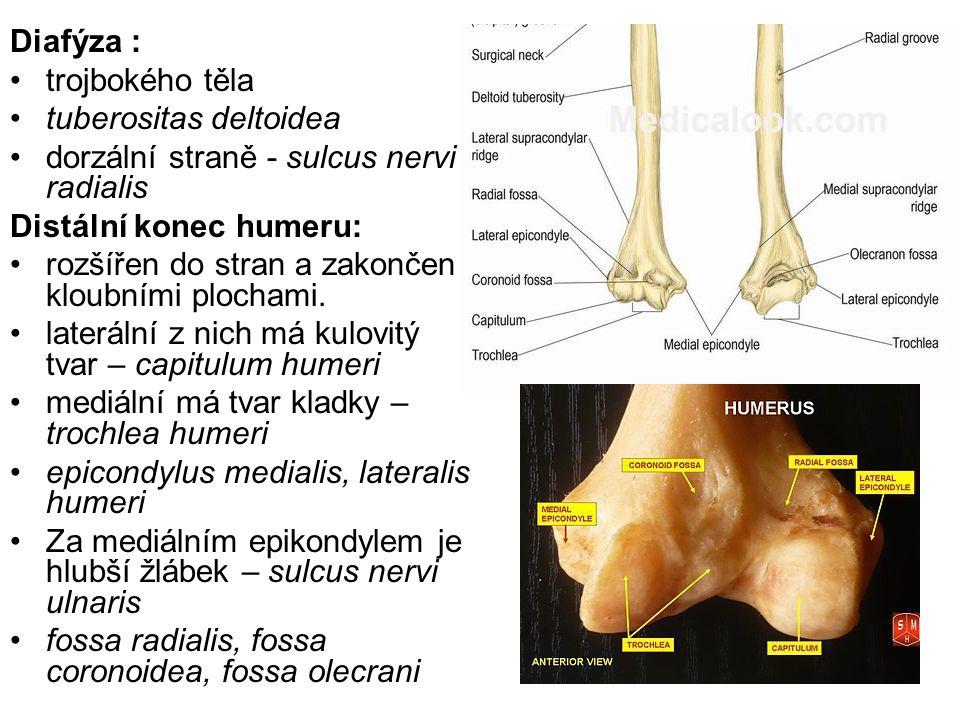 Diafýza : trojbokého těla. tuberositas deltoidea. dorzální straně - sulcus nervi radialis. Distální konec humeru: