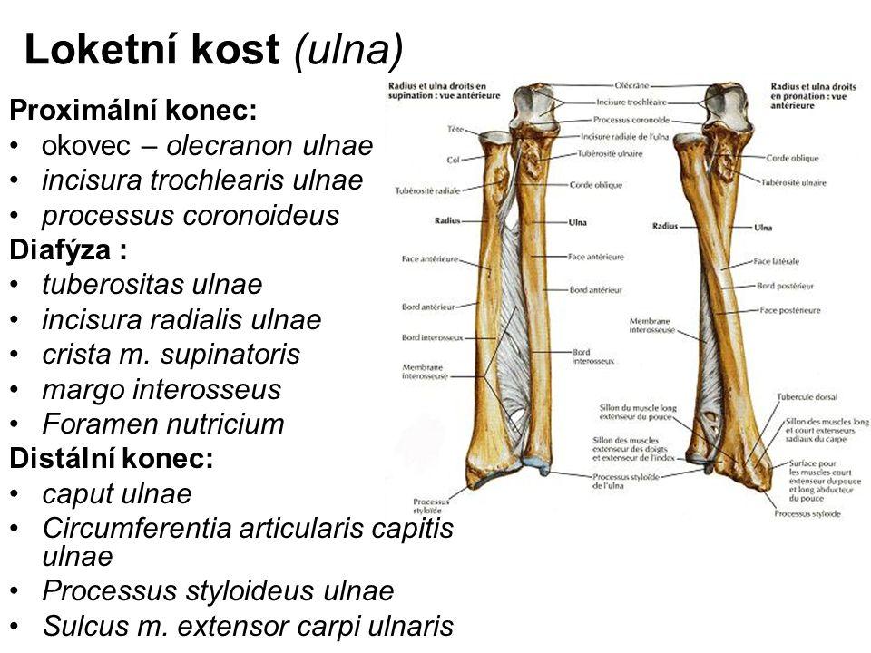 Loketní kost (ulna) Proximální konec: okovec – olecranon ulnae