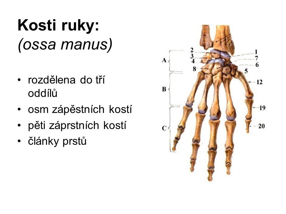 Kosti ruky: (ossa manus)