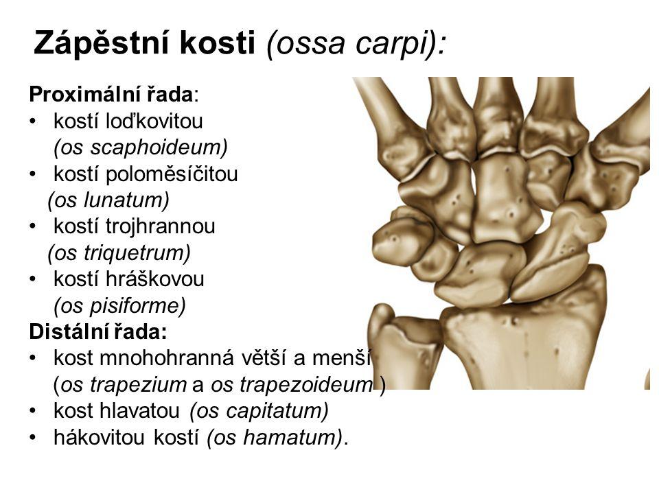 Zápěstní kosti (ossa carpi):