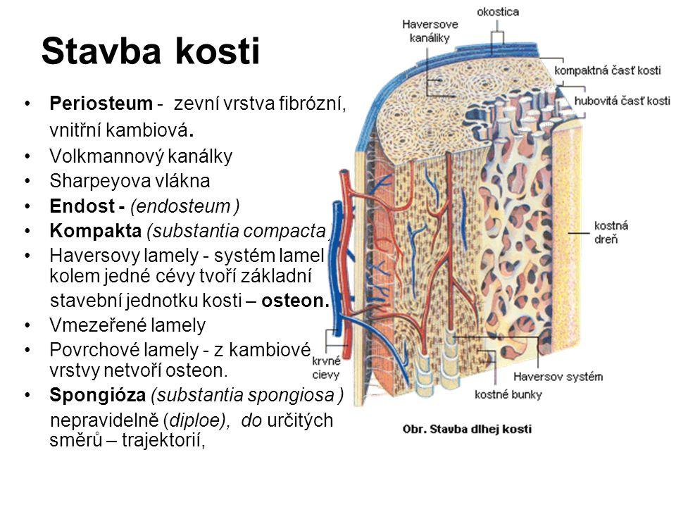 Stavba kosti Periosteum - zevní vrstva fibrózní, vnitřní kambiová.