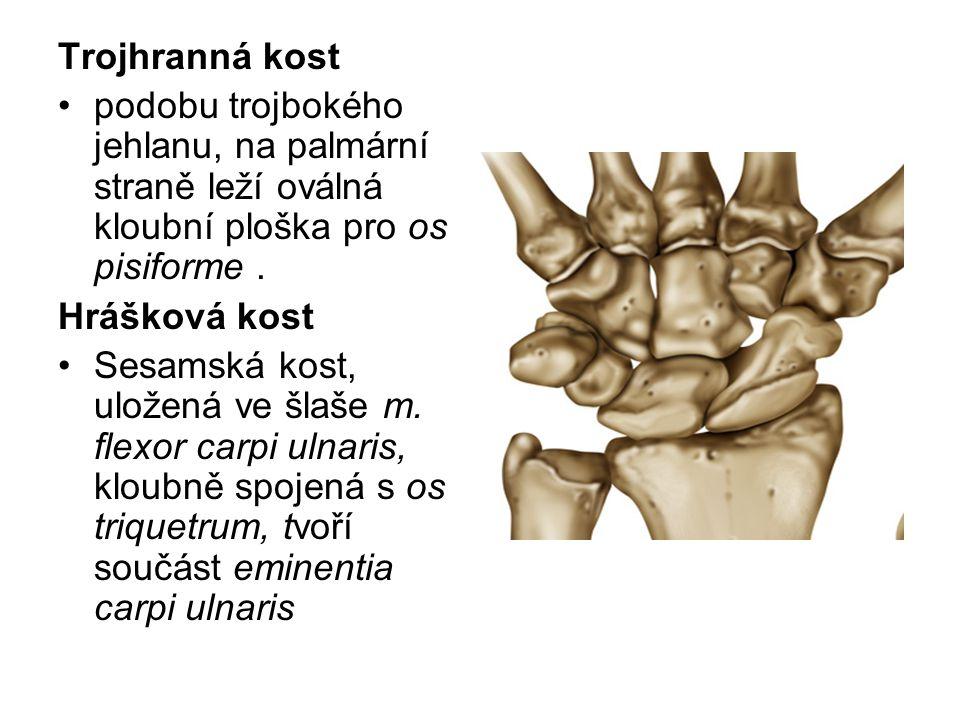 Trojhranná kost podobu trojbokého jehlanu, na palmární straně leží oválná kloubní ploška pro os pisiforme .