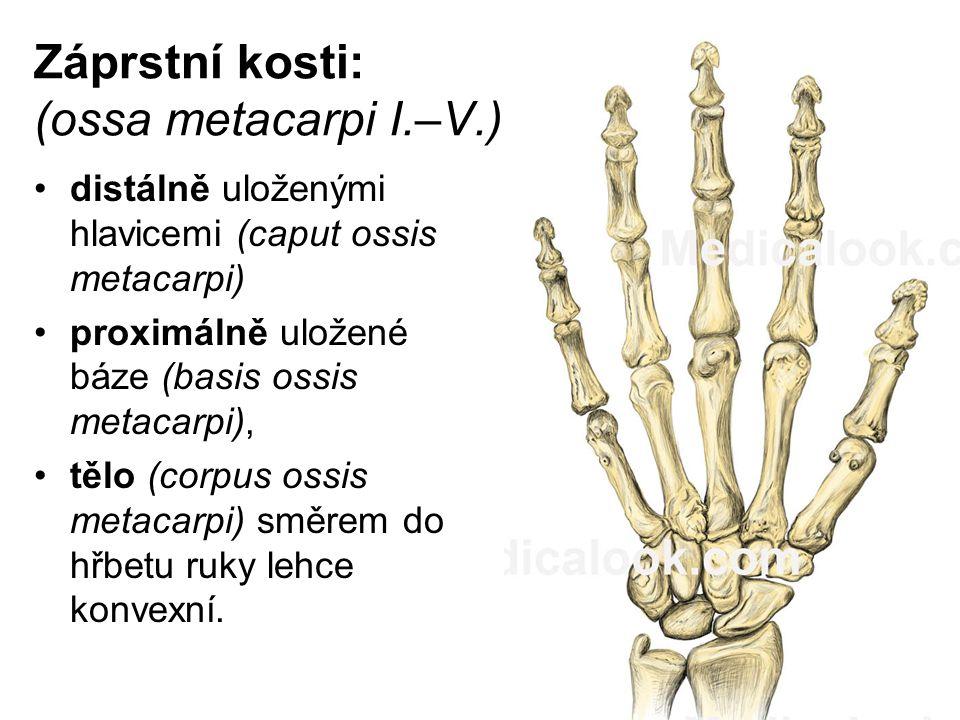 Záprstní kosti: (ossa metacarpi I.–V.)
