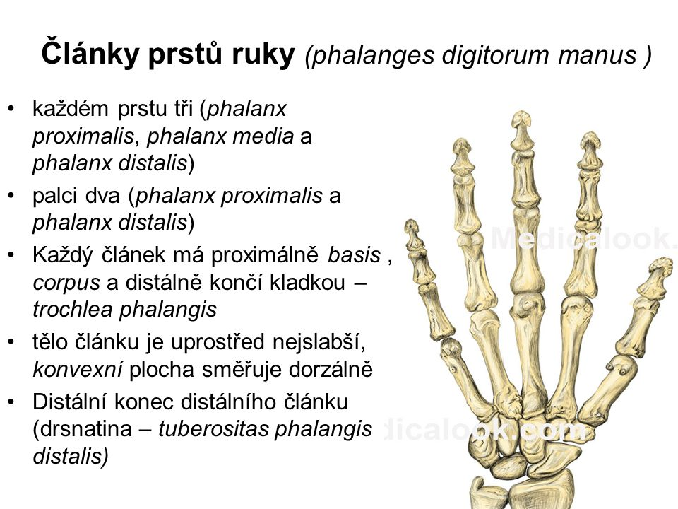Články prstů ruky (phalanges digitorum manus )