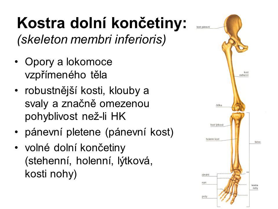 Kostra dolní končetiny: (skeleton membri inferioris)