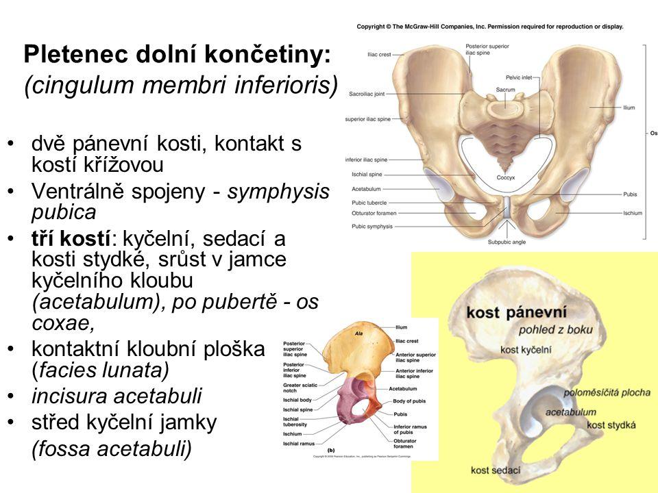 Pletenec dolní končetiny: (cingulum membri inferioris)