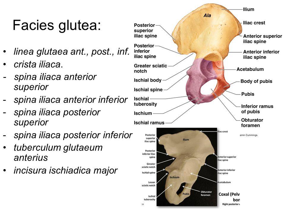 Facies glutea: linea glutaea ant., post., inf. crista iliaca.