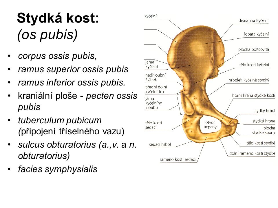 Stydká kost: (os pubis)