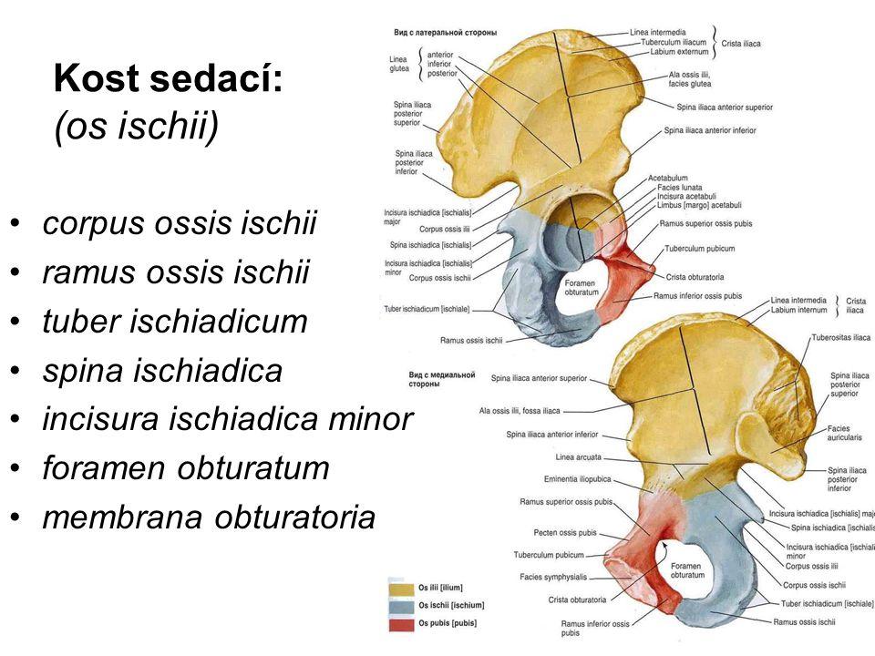 Kost sedací: (os ischii)
