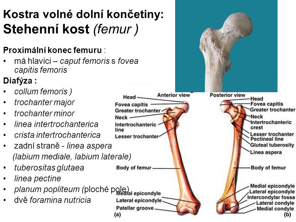 Kostra volné dolní končetiny: Stehenní kost (femur )