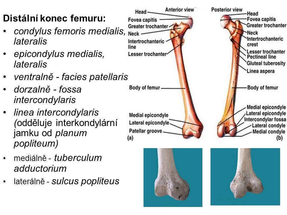 Distální konec femuru: condylus femoris medialis, lateralis