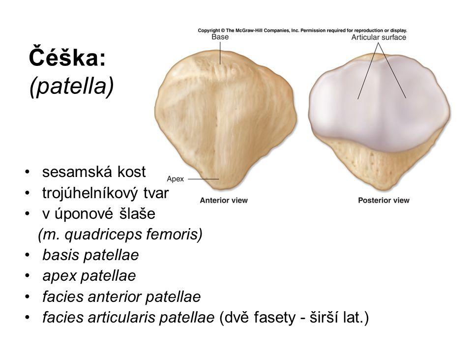 Čéška: (patella) sesamská kost trojúhelníkový tvar v úponové šlaše