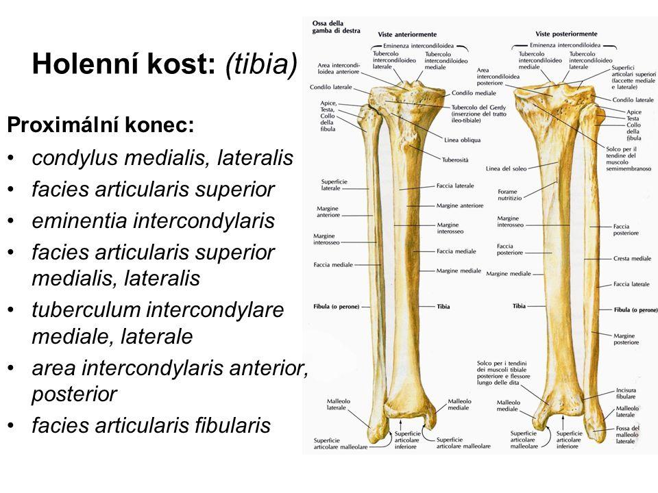 Holenní kost: (tibia) Proximální konec: condylus medialis, lateralis