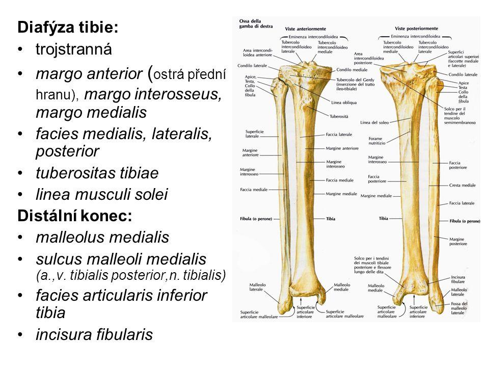 Diafýza tibie: trojstranná. margo anterior (ostrá přední hranu), margo interosseus, margo medialis.