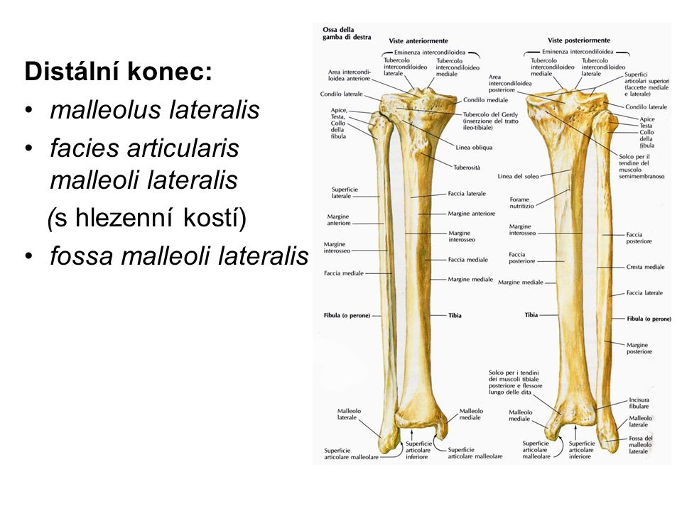 Distální konec: malleolus lateralis. facies articularis malleoli lateralis.