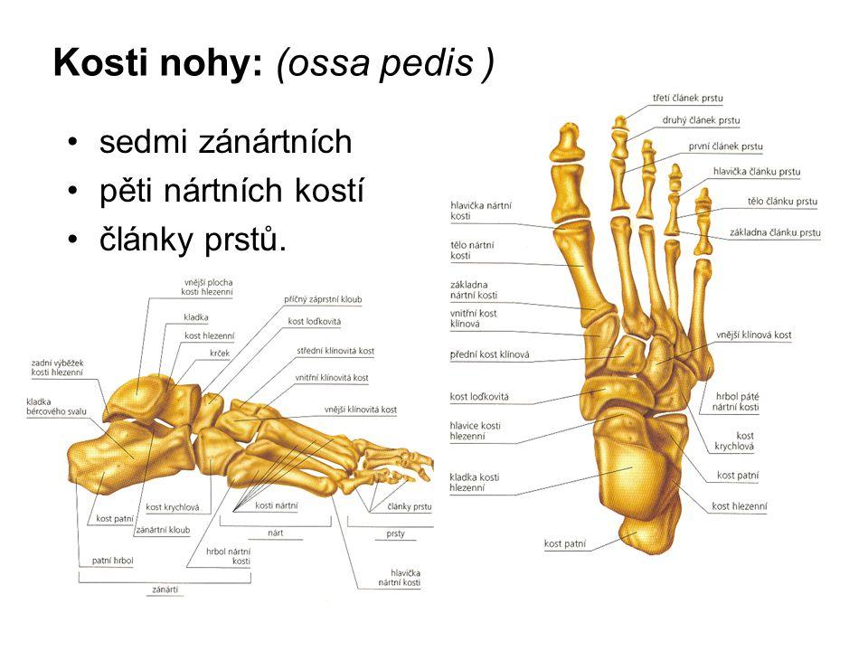Kosti nohy: (ossa pedis )