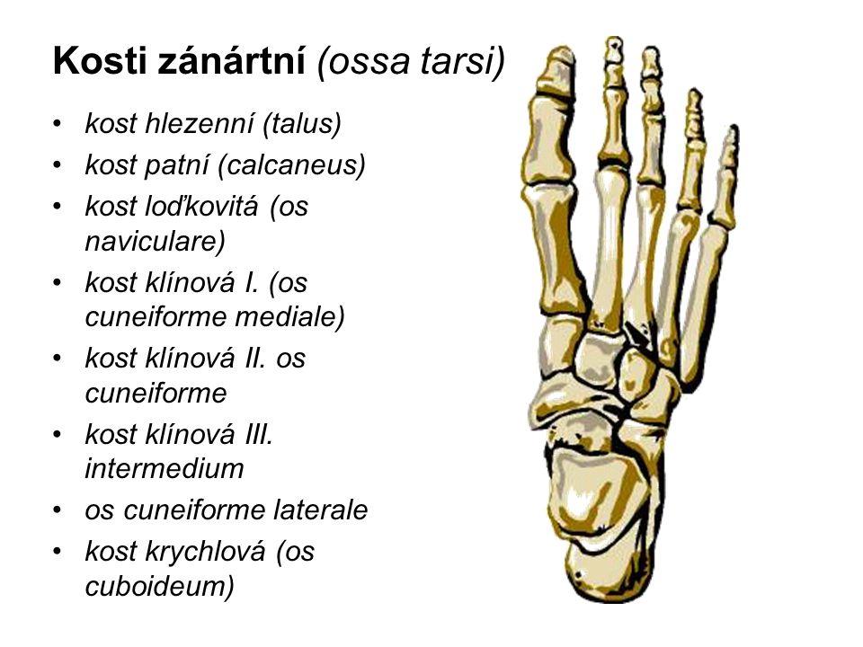 Kosti zánártní (ossa tarsi)